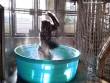 Khỉ đột phấn khích nhảy múa trong bồn tắm