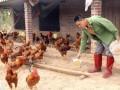 Thành tỷ phú nhờ tuyệt chiêu cho 8.000 con gà ăn tỏi