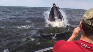"""Mỹ: Cá voi to như tàu ngầm lao lên """"uy hiếp"""" tàu chở khách"""