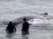 Thế giới - Úc: Cá voi khổng lồ chảy máu, cá mập bao vây rỉa thịt