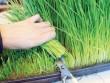 Thực hư cỏ lúa mì, gạo lứt diệt tế bào ung thư