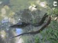 Thế giới - Bị rắn khổng lồ nuốt, cá dùng đòn độc chiến đấu đến cùng