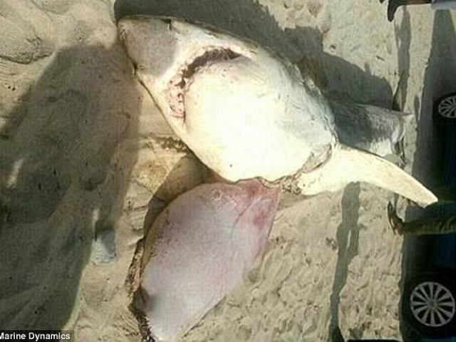 Thêm nạn nhân bị đàn cá voi sát thủ moi gan ở Nam Phi