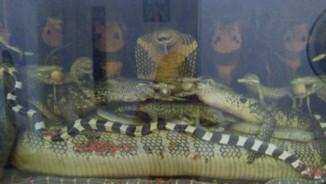 """""""Vua rắn độc"""" kinh ngạc trước mãng xà 45kg trong bể rượu ở Hà Nội"""