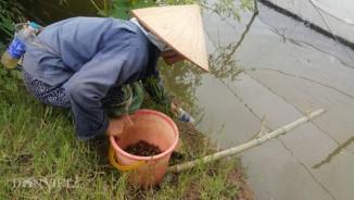 Dùng chai nhựa thải bẫy cáy, nông dân Cố đô kiếm 1 triệu đồng/ngày