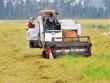 """Chỉ có Trung Quốc thu mua, trồng nhiều lúa nếp dễ """"chết"""""""