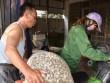 Quảng Ninh: Người dân vừa nuôi ngao vừa... run!