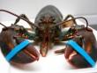 Mỹ: Bắt được tôm hùm khổng lồ 9kg trong... hành lý