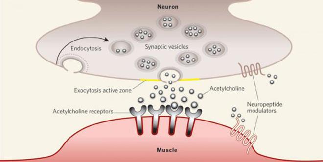 Acetylcholine – Bước đột phá mới trong điều trị suy giảm trí nhớ - 3