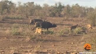 Nam Phi: Đàn sư tử truy sát trâu rừng trước mặt du khách