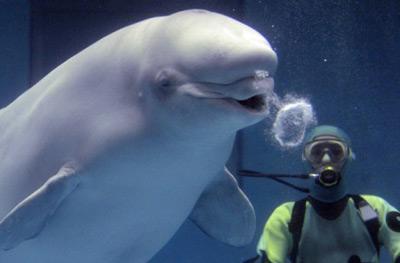 Video: Cá voi biết thổi bong bóng nước - 2
