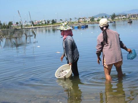 Đà Nẵng cấm nuôi hải sản tại khu vực vịnh Mân Quang - 1
