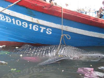 Bình Định: Bắt được cá khổng lồ cực lạ - 1
