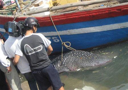 Bình Định: Bắt được cá khổng lồ cực lạ - 2