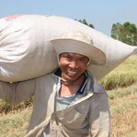 Giá lúa gạo tại ĐBSCL đang sốt ảo?