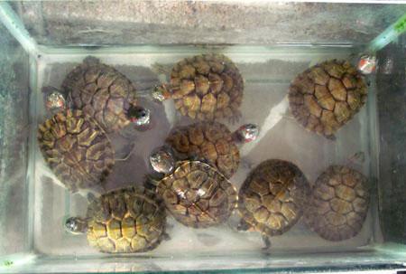 Rùa tai đỏ vẫn được bày bán công khai - 2
