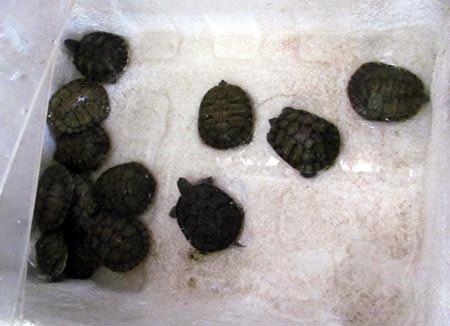 Rùa tai đỏ vẫn được bày bán công khai - 3