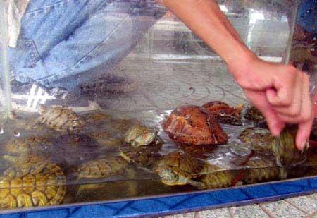 Rùa tai đỏ vẫn được bày bán công khai - 4