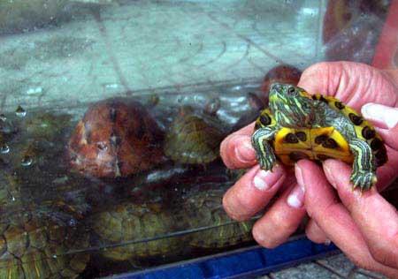 Rùa tai đỏ vẫn được bày bán công khai - 6
