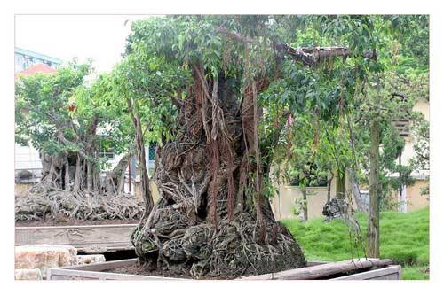 Cây sanh cổ trồng chậu có bộ rễ ôm đá lớn nhất Việt Nam - 3