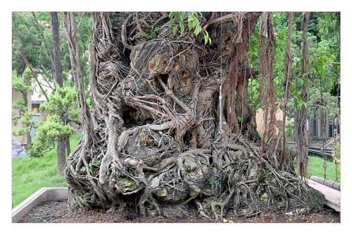Cây sanh cổ trồng chậu có bộ rễ ôm đá lớn nhất Việt Nam - 2