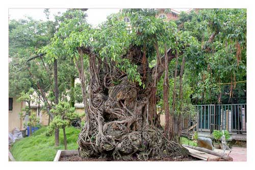 Cây sanh cổ trồng chậu có bộ rễ ôm đá lớn nhất Việt Nam - 1