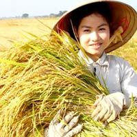 Giá lúa gạo giảm... chỉ là nhất thời