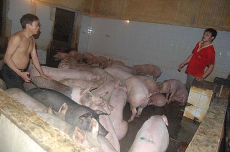 Cận cảnh lò giết mổ lợn giữa Thủ đô - 7