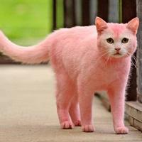 Chú mèo… màu hồng