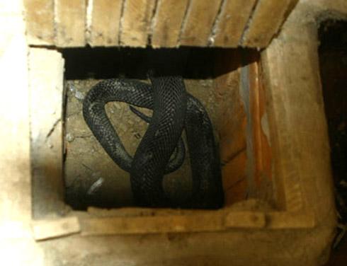 Tự chặt tay vì nuôi rắn chúa - 1