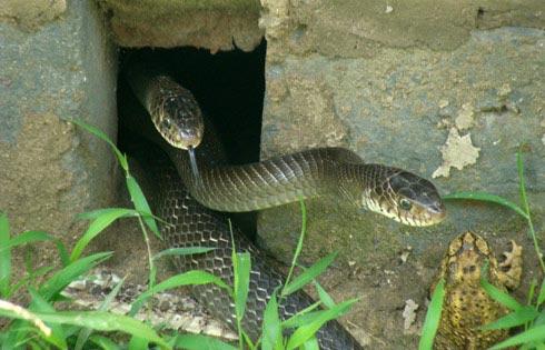 Tự chặt tay vì nuôi rắn chúa - 3
