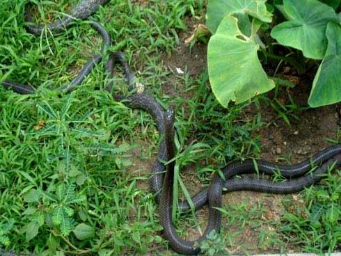 Tự chặt tay vì nuôi rắn chúa - 4