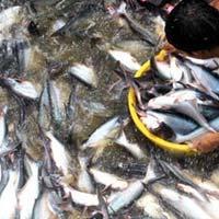 Giá cá tra nguyên liệu liên tục giảm mạnh