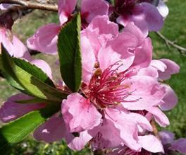 Công dụng làm đẹp tuyệt vời của hoa đào - 1