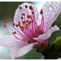 Công dụng làm đẹp tuyệt vời của hoa đào
