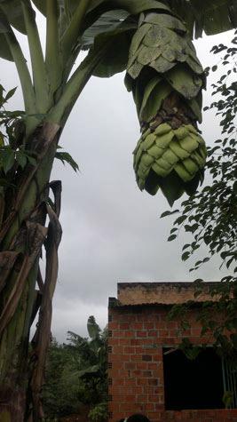 Gia Lai: Kỳ quái cây chuối mọc sừng - 1