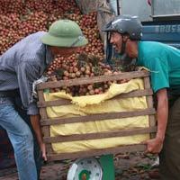 Thương lái Trung Quốc không được tự thu mua nông sản