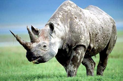 Sừng tê giác: Thật - giả, giả - thật - 2