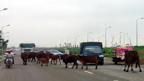 Trâu bò ở những làng quê đô thị hóa - 1