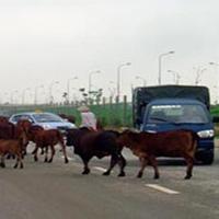 Trâu bò ở những làng quê đô thị hóa