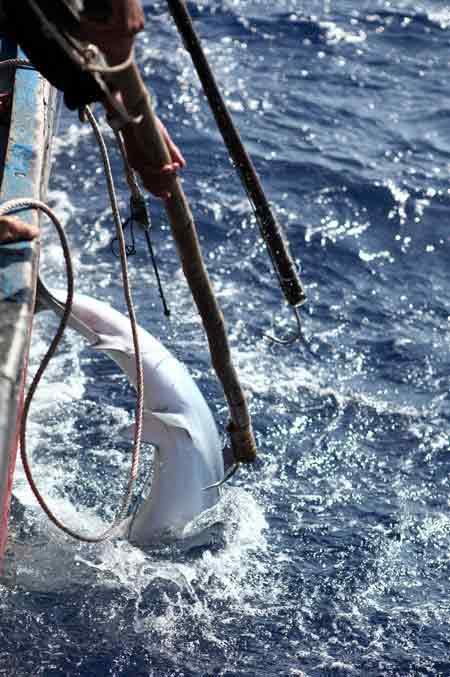 Thót tim xem ngư dân săn... cá mập - 3
