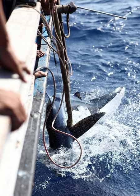 Thót tim xem ngư dân săn... cá mập - 4