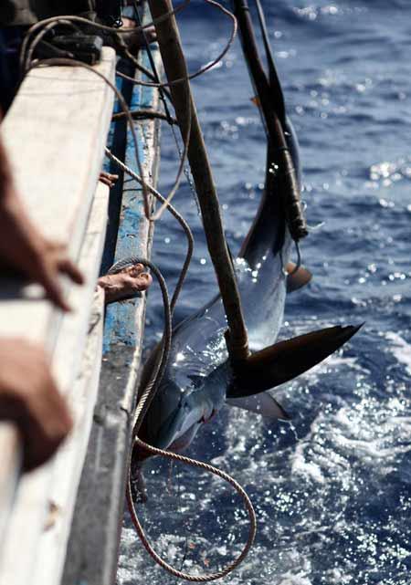 Thót tim xem ngư dân săn... cá mập - 5