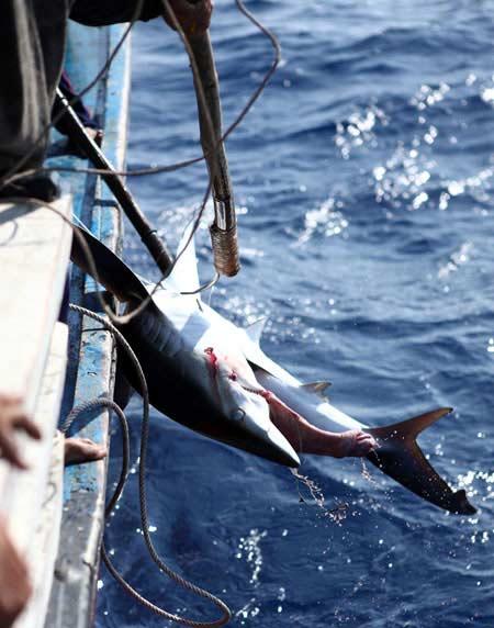 Thót tim xem ngư dân săn... cá mập - 6