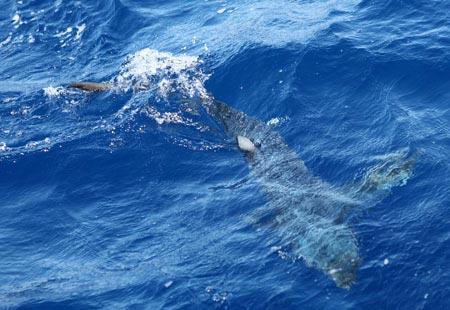 Thót tim xem ngư dân săn... cá mập - 7