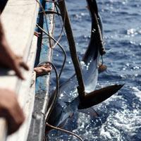 Thót tim xem ngư dân săn... cá mập