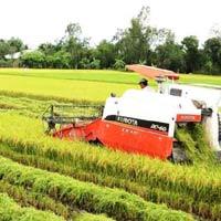 Thị trường lúa gạo: Cấp thấp giảm giá, cấp cao tăng giá