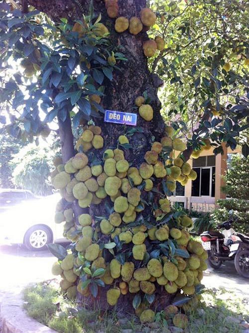 """Cây mít """"nghìn quả"""" ở Quảng Ninh, Phi thường - kỳ quặc, chuyen la, chuyen la co that, chuyen la viet nam,cay mit nghin qua, tin tuc"""