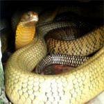 Phi thường - kỳ quặc - Bảo tàng rắn đầu tiên tại Việt Nam