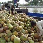 Thị trường - Tiêu dùng - Dừa Bến Tre chất đống chờ… thương lái